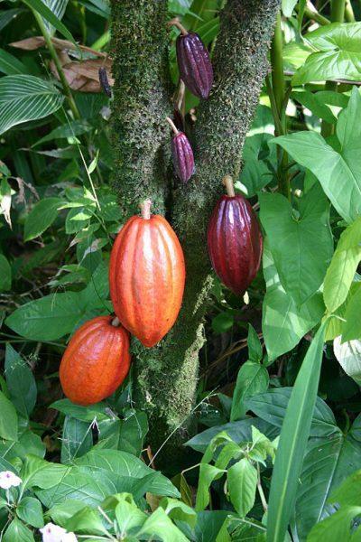 jardín-botanico-río-de-janeiro-cacao